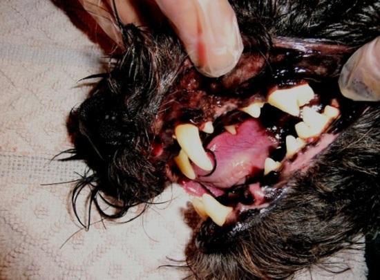 Hundegebiss nach der Zahnsanierung