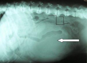 Hund Gebärmuttertumor
